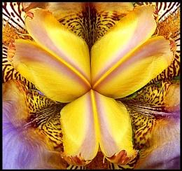 Iris closeup