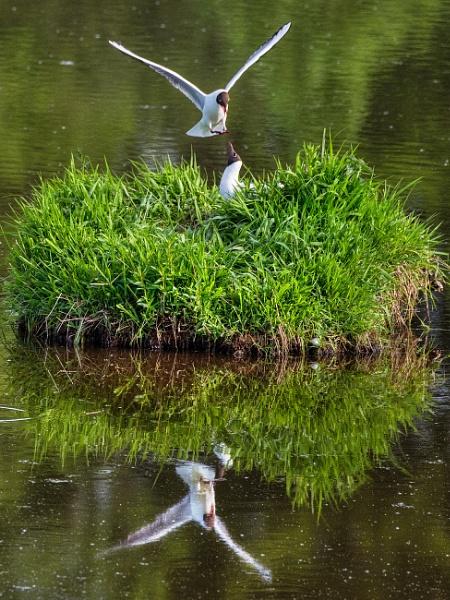 Black Headed Gulls by AndrewAlbert