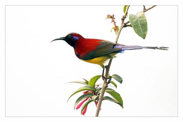 Mrs Goulds Sun bird Male.No = 6 by prabhusinha