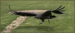 Condor Running