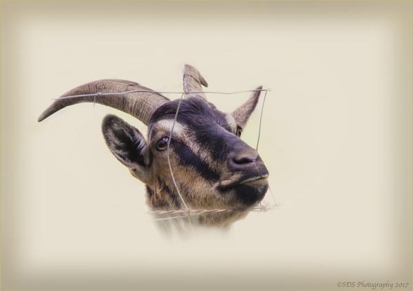 Silly Goat by Daisymaye