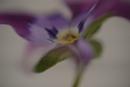 violet by maratsuikka