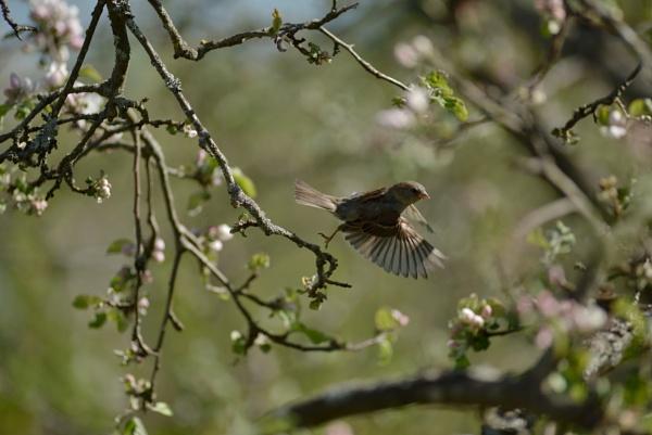 sparrow by maratsuikka
