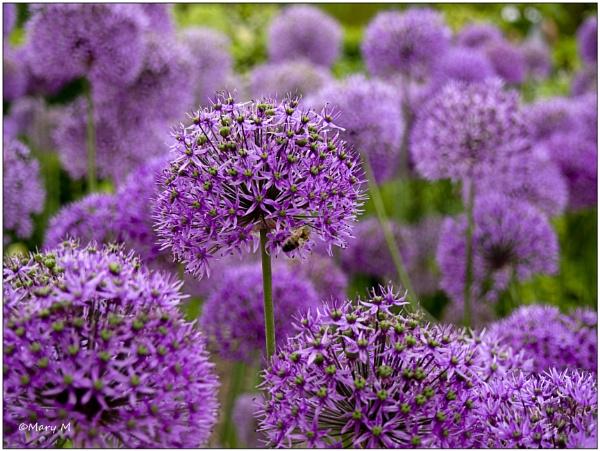 Alliums by marshfam19