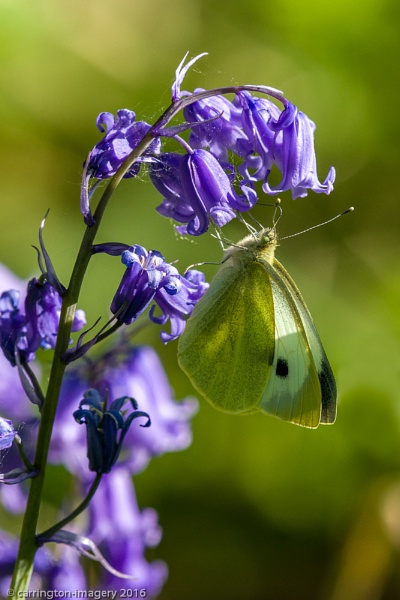 Butterfly on Bluebell