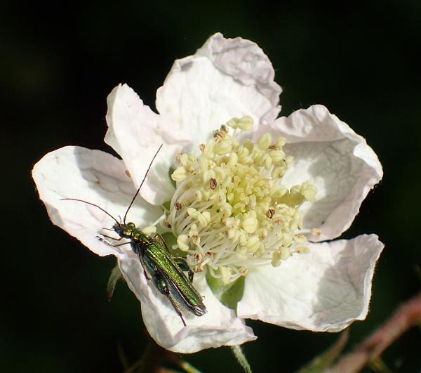 Green Blister Beetle by nclark