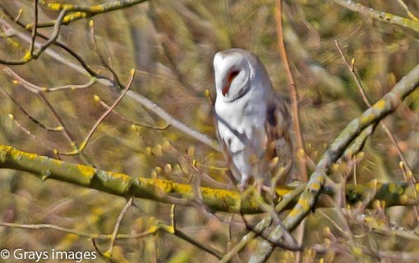A Barn Owl by p147180r