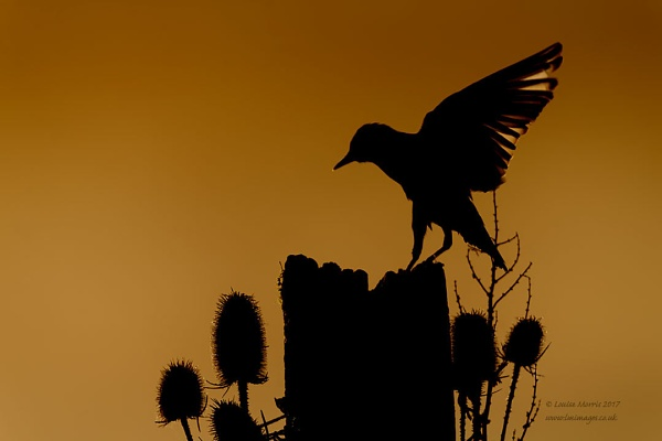 Starling by Louise_Morris