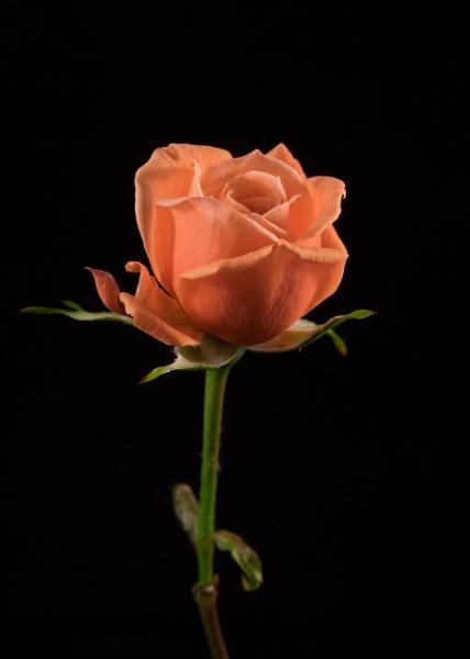 Miniature Rose by kaz1