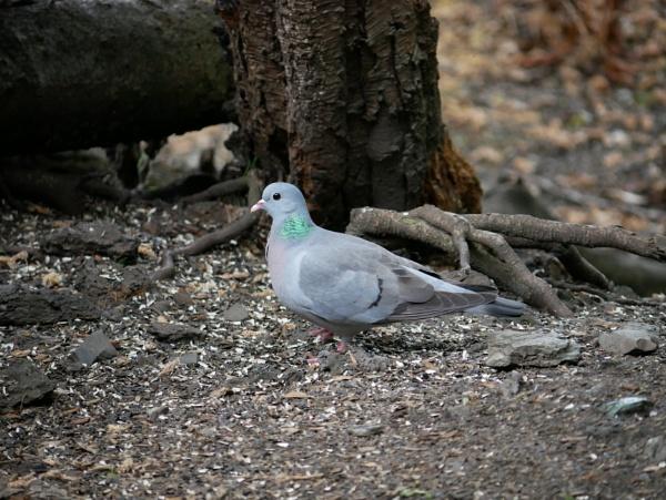 Stock Dove by ShaunsPics