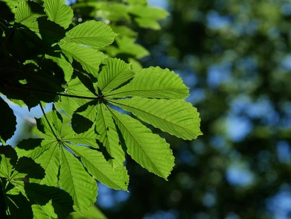 Sunlit Leaves by ShaunsPics