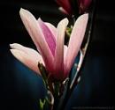 Magnolia by akh