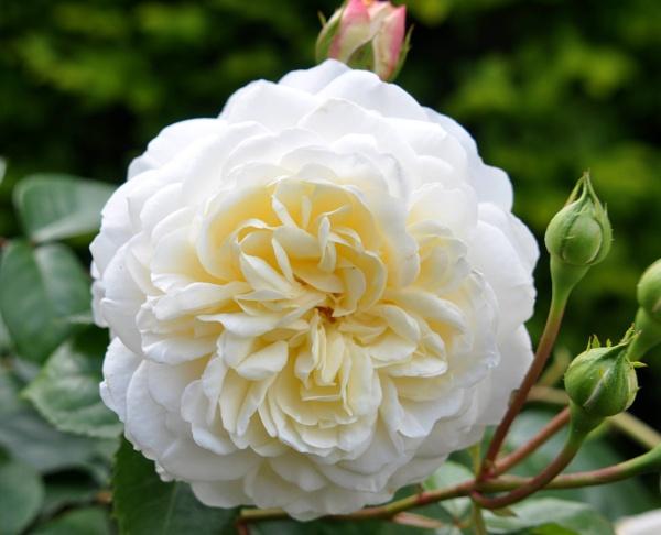 White rose by Captsaigon