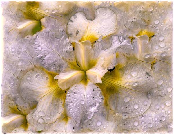 Iris Raindrops by capto
