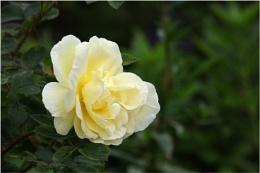 Yellow Rose of Arley