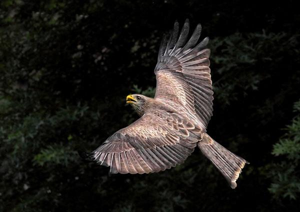 Kite in Flight by johnke