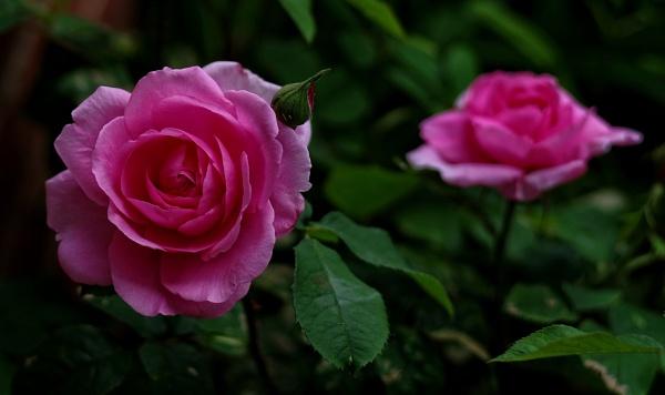 Gertrude Jekyll........... by Mollycat