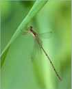 Great Spreadwing by taggart