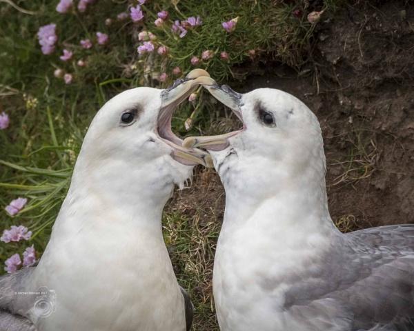 Shetland Gulls by Normanr
