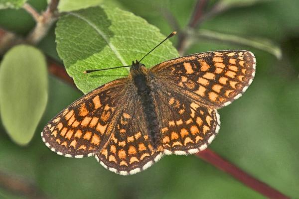 Heath Fritillary--Melitaea athalia by bobpaige1