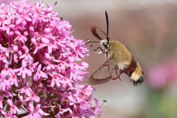 Broad-Bordered Bee-Moth by Wanilson