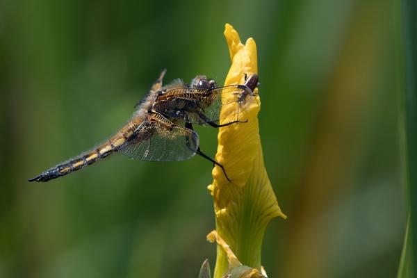 Yellow Iris And Hangers On by Wanilson