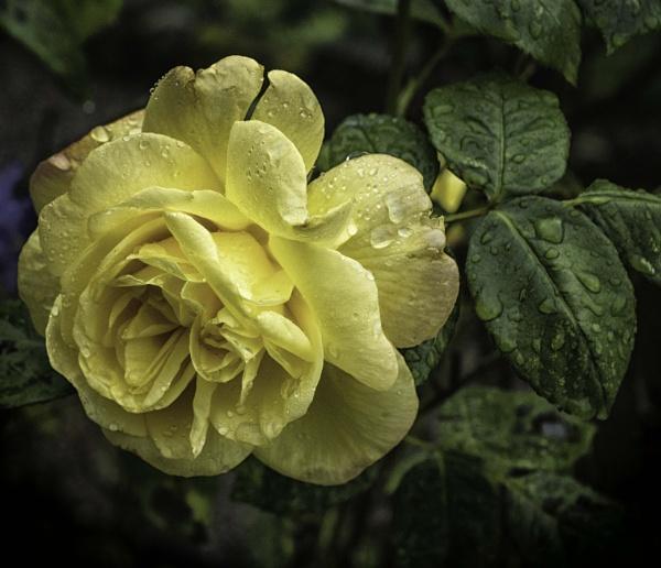 Wet rose by BillRookery