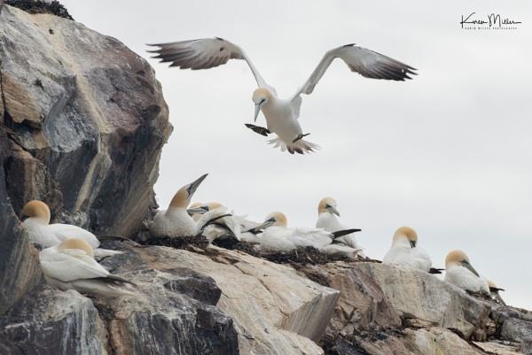 Gannet Landing, Bass Rock by kfjmiller
