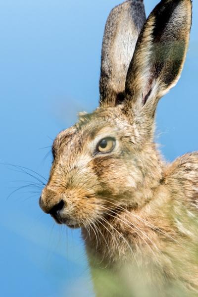 Brown Hare (Lepus europaeus) by kfjmiller