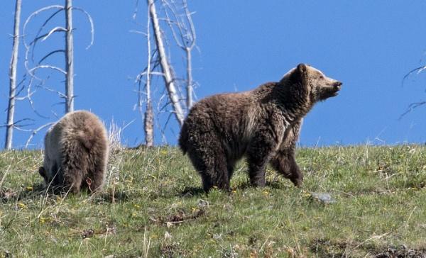 Mamma bear and Cub in Yellowstone by Janetdinah