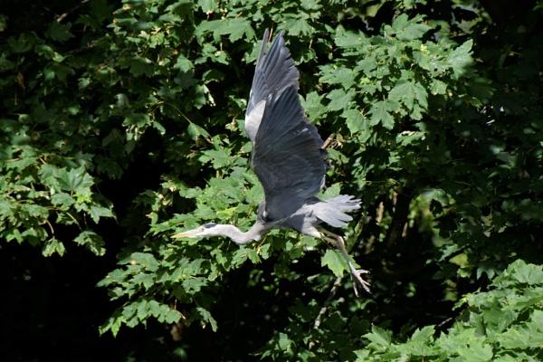 Heron in Flight by JohnMar