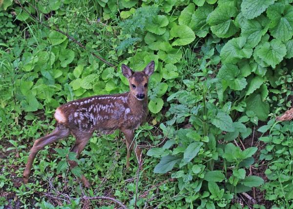 Roe Deer Fawn by Waylander5