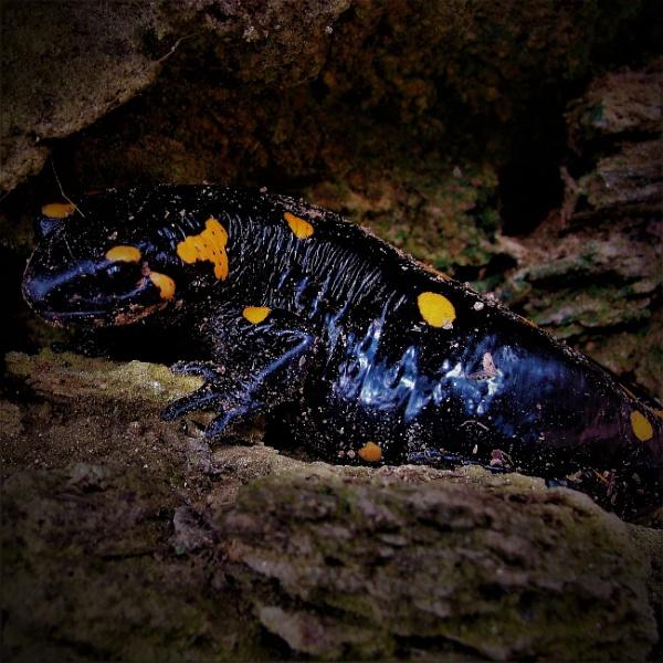 Macedonian Salamander by PhotoHeritage