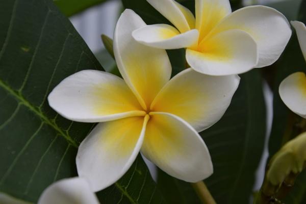 yellow frangapani by lunarose