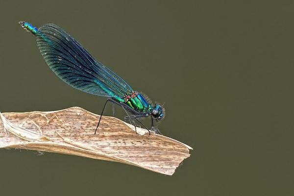 Male Banded Demoiselle (Calopteryx splendens) by DerekL