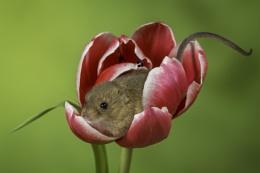 The Tulip destroyer