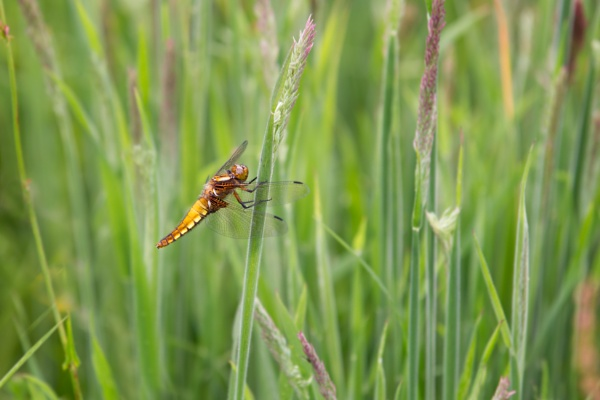 Broad-bodied chaser by PLCimagery