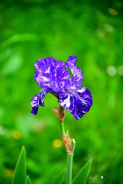 Iris by jb_127