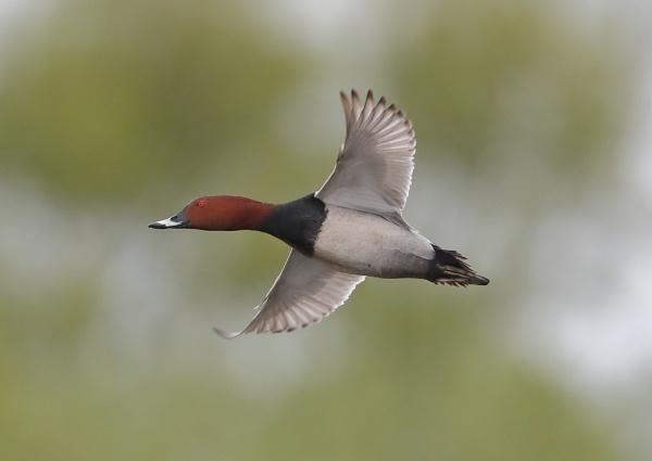 Pochards in Flight by NeilSchofield