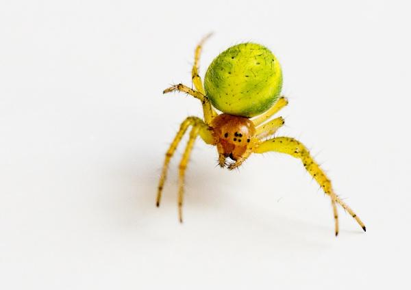 "Green Orb Spider \"" Araniella cucurbitina \"" by badgerwil70"