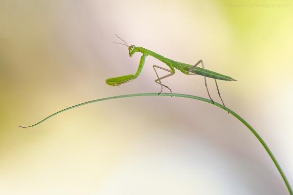 Praying Mantis by SWMahy
