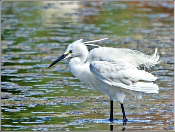 Little Egret by delboy85