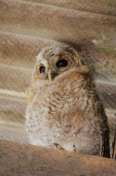 Tawny Owl by tiff