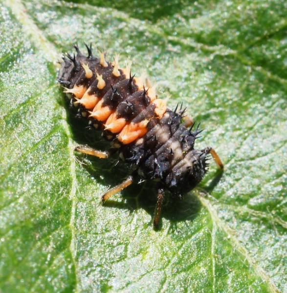 Harlequin Ladybird Larva by nclark