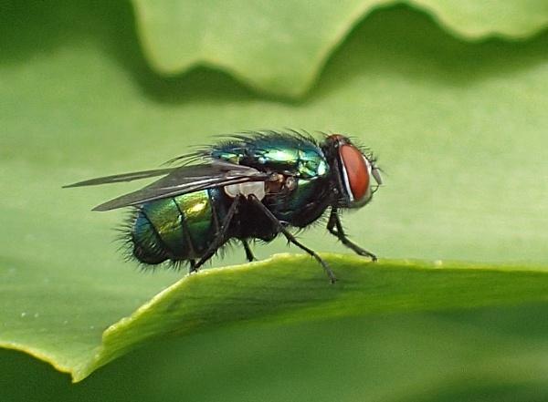 Green Bottle Fly by nclark