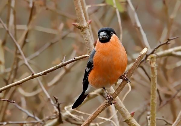 Bullfinch [Male] by J_Caswell