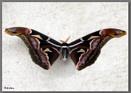 Giant Moth... by debu