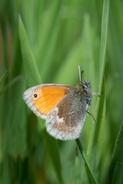 Small Heath Butterfly by jasonrwl