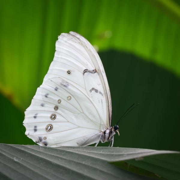 White Morpho (Morpho polyphemus) by jasonrwl