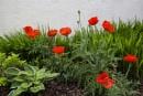 A Hosta Poppies by Irishkate